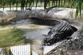 World's Largest Crocodile In Captivity (Ever)
