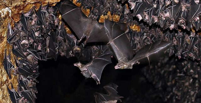 World's Largest Colony Of Geoffrey's Rousette Fruit Bat